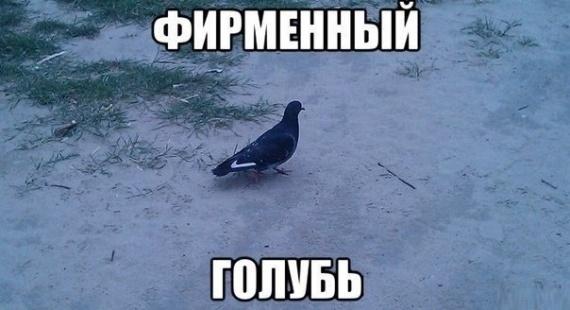 Фирменный голубь
