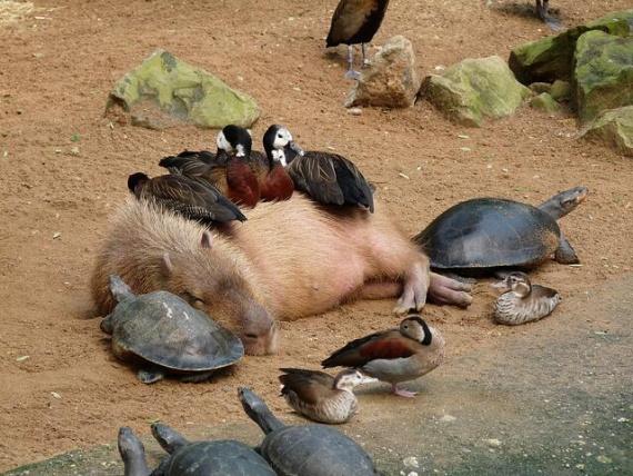 Капибара, черепахи и птицы вместе