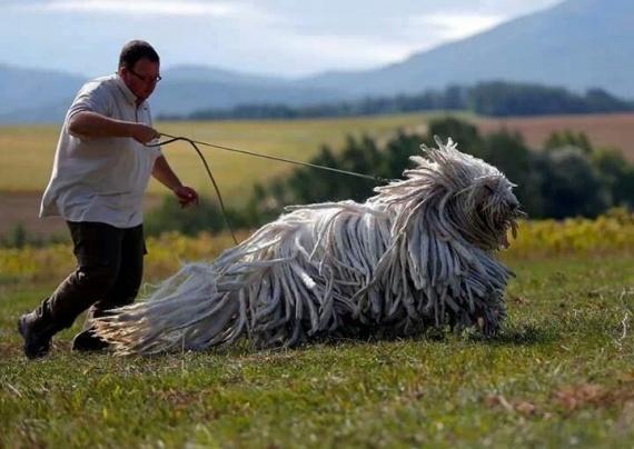 Традиционный венгерский пес-охранник