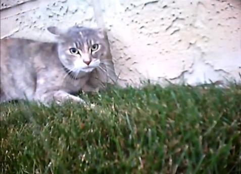 Кошачью драку сняли глазами кота
