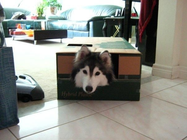 Хаски ведет себя как кошка (17 фото)