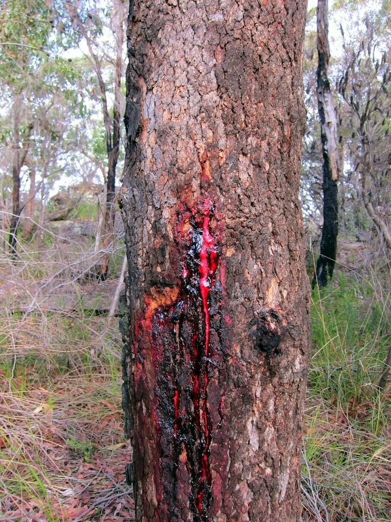 Африканское кровавое дерево