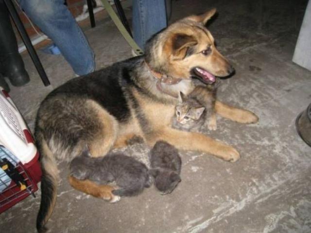 Удивительная история: Бродячая собака стала мамой для бездомных котят