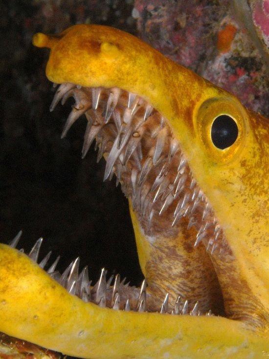 Тигровая мурена, опаснейший обитатель Атлантического океана
