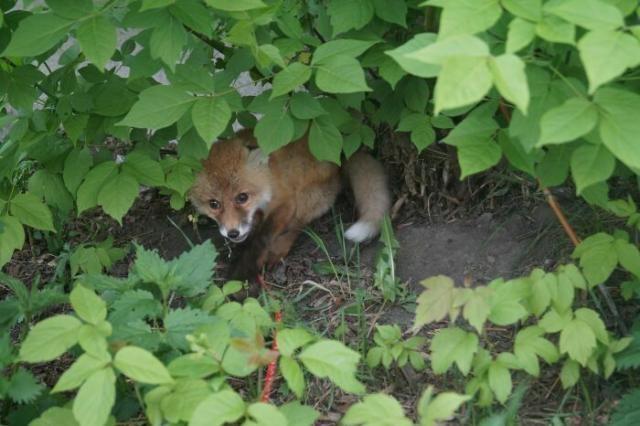 В Омске удалось спасти маленького лисенка