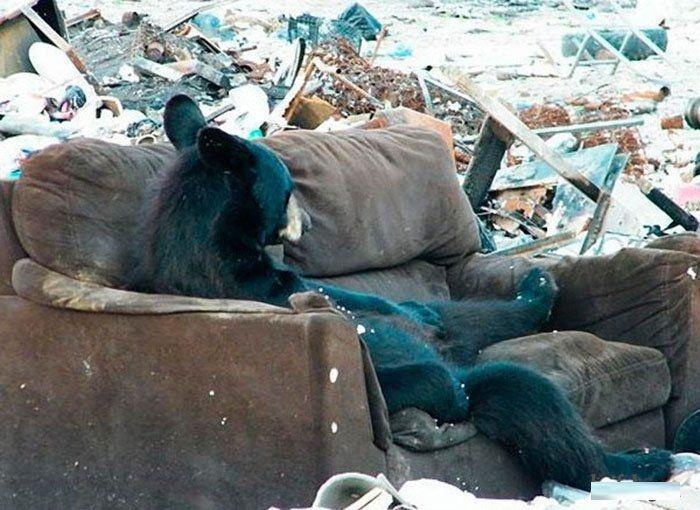Русские медведи в городах и на дорогах (60 фото)