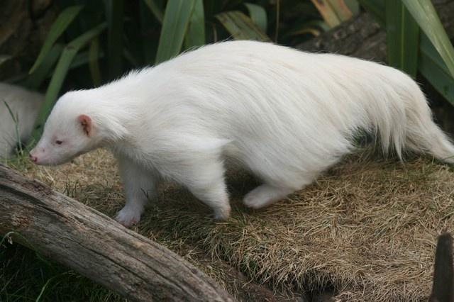 Удивительная красота животных-альбиносов (18 фото)
