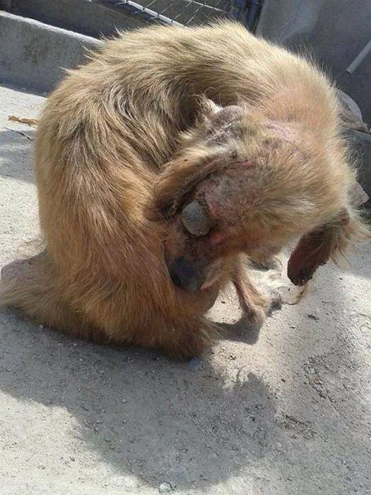 """Спасенные от гибели собаки: """"до и после"""" (50 фото)"""