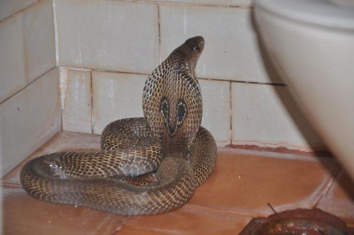 Опасный гость в туалете (4 фото)