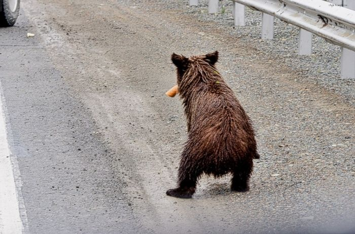 Почему нельзя кормить медведей