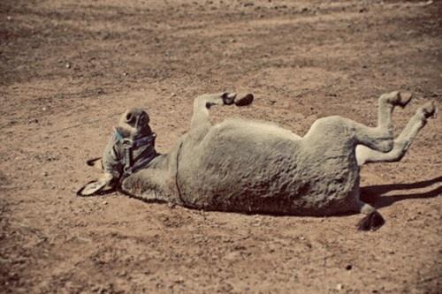 10 примеров издевательств цивилизованных европейцев над животными