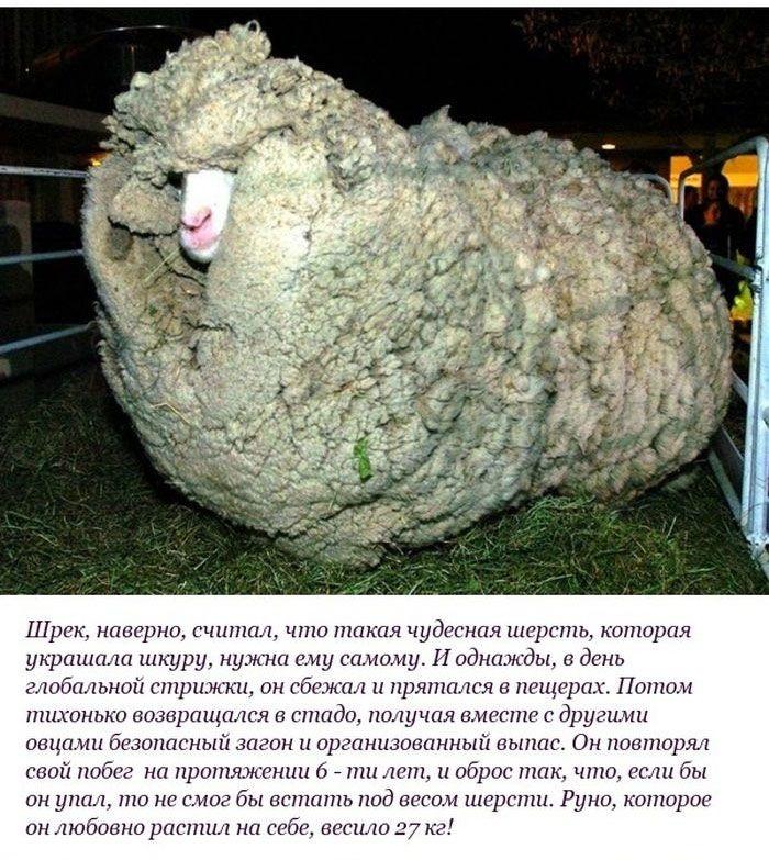 """История одного барана по кличке """"Шрек"""" (10 фото)"""