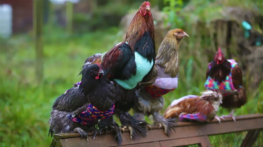 2 женщины спасают кур бывших на птицефабриках (3 фото + видео)