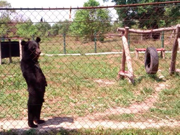 Медведь в Лаосе освоил человеческую походку