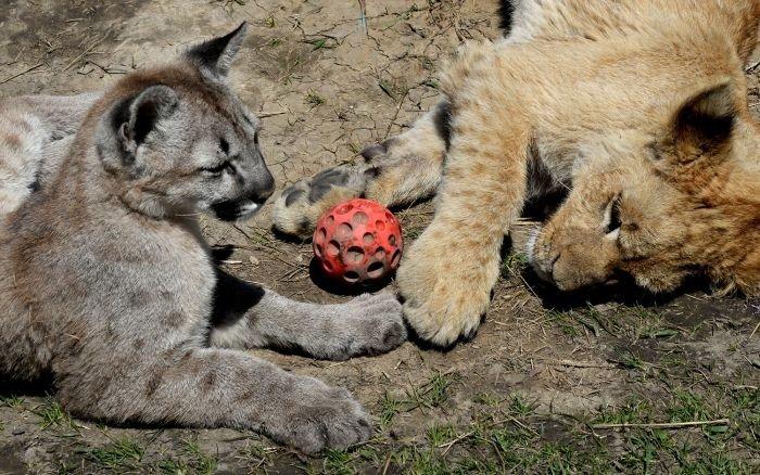 В зоопарке Приморья львенок подружился с котенком пумы