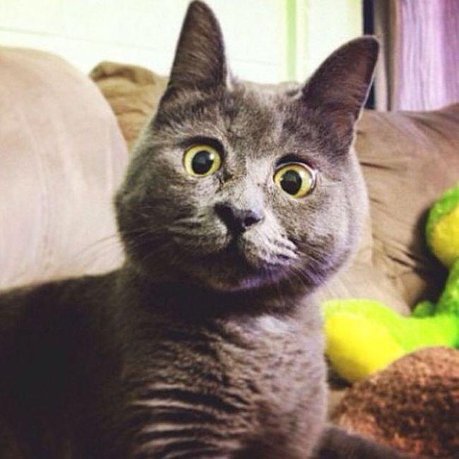 Постоянно удивленный кот