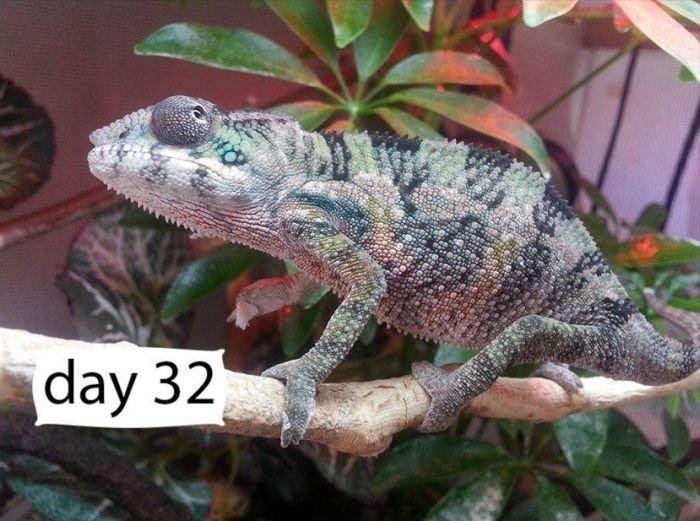 Весь цикл роста домашнего хамелеона Йоши (9 фото)