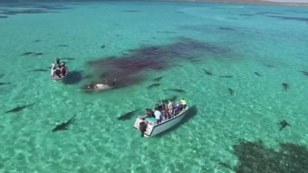 70 акул поедают кита на глазах у туристов