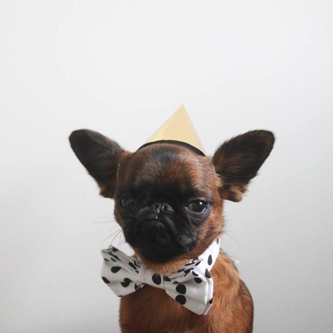Знакомьтесь Гизмо - самый недовольный пес