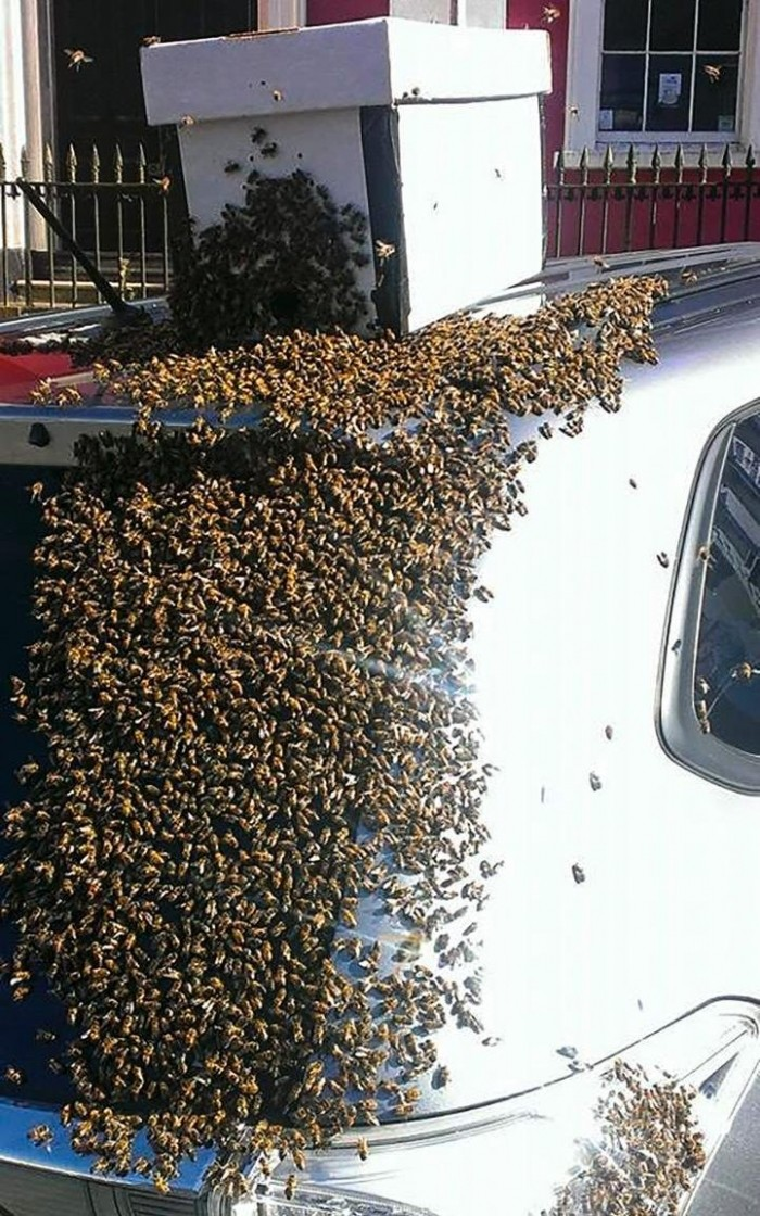 Рой из 20 000 пчел два дня гнался за машиной