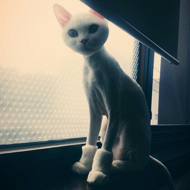 Бритые коты (18 фото)