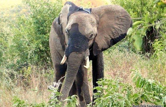 Раненый браконьерами слон обратился к людям за помощью