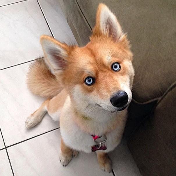 Собака похожая на лису (13 фото)