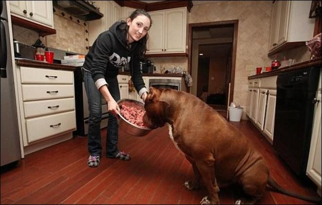 Самый крупный питбуль в мире (10 фото)