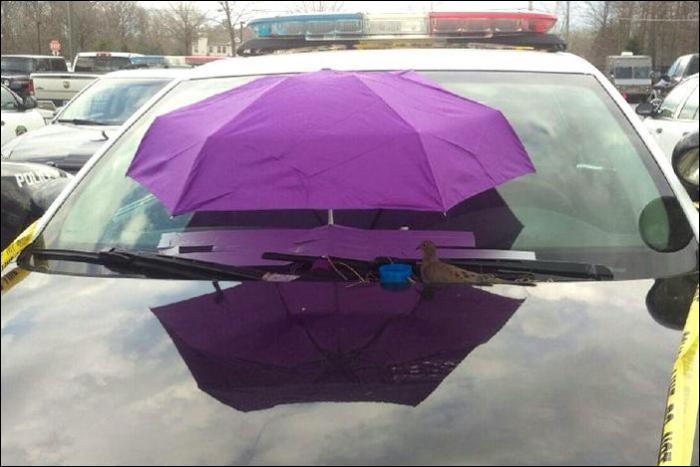 Голубь устроил гнездо на полицейском автомобиле (3 фото)
