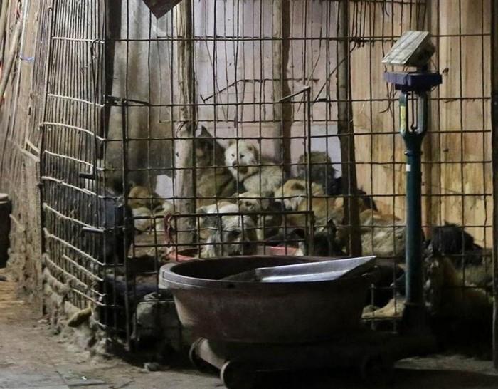 Фестиваль собачьего мяса в Китае