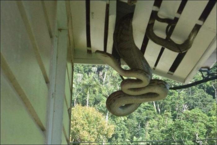 Австралийка обнаружила в своем доме 40-килограммового питона