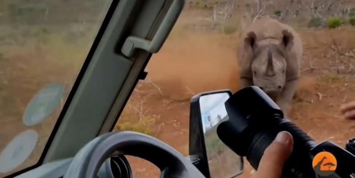 Носорог атаковал двух фотографов, сидящих в автомобиле