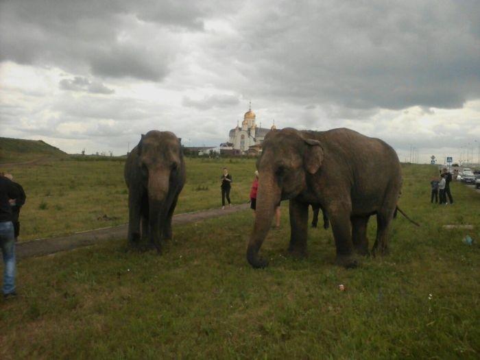 В Магнитогорске выгуливали слонов