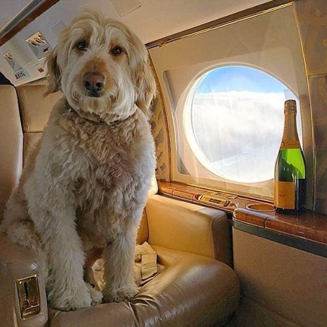 Богатые собачки Лондона проводят отпуск лучше тебя