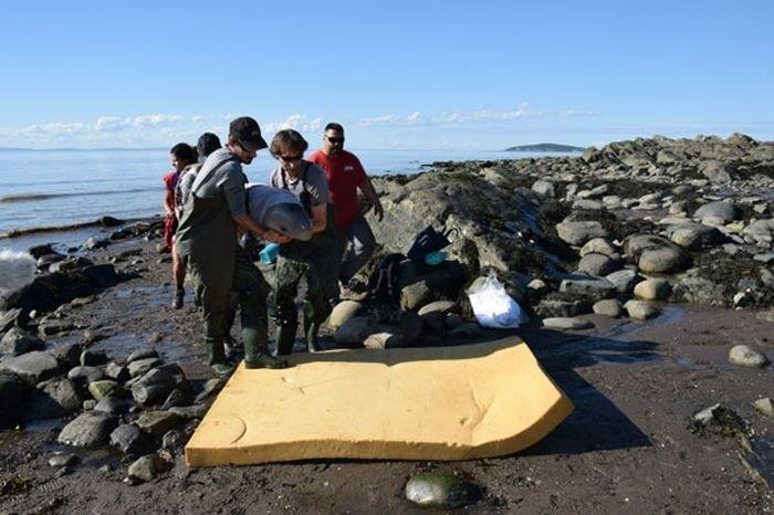 В Канаде дети спасли выброшенного на берег детеныша кита-белухи