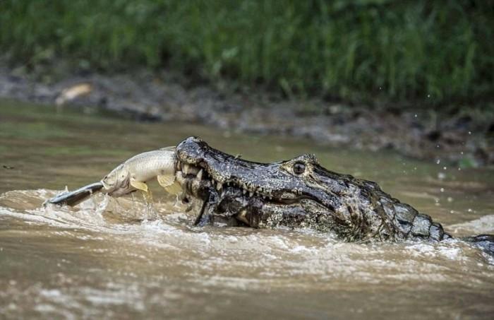 Охота на охотника - обычное дело в дикой природе