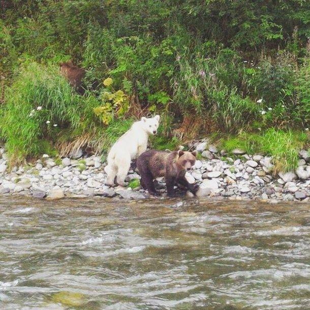На Камчатке нашли бурого медведя с белой шерстью