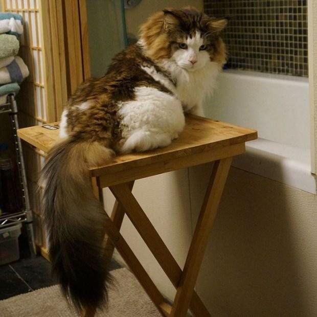 Самсон - самый крупный кот Нью-Йорка