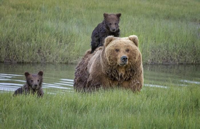 Мама-медведица перевезла маленького медвежонка через реку