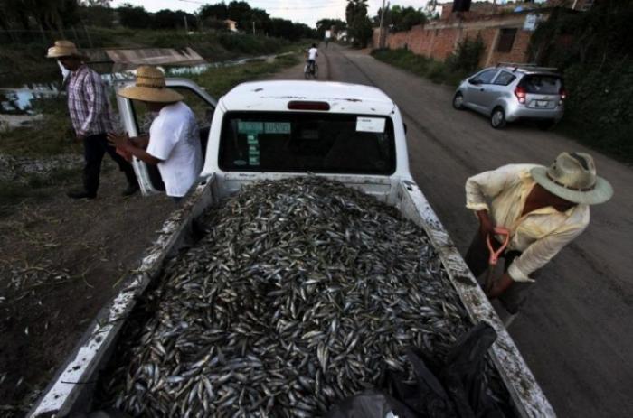 40 тонн рыбы всплыло в мексиканском озере (21 фото)