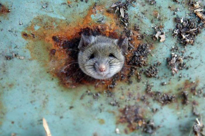Влип крысеныш (6 фото)