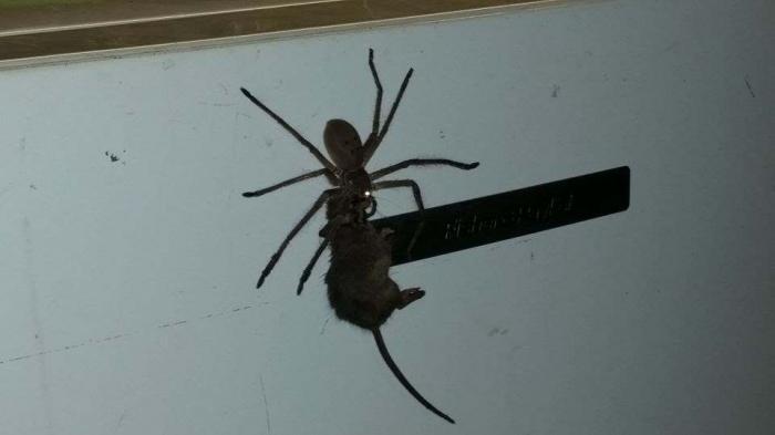 Паук, поедающий мышей в Австралии