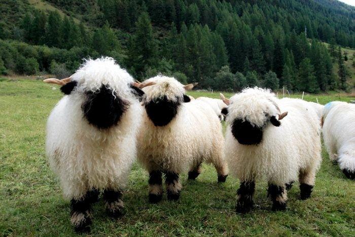 Необычные овцы