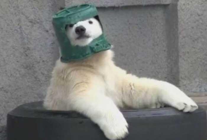 Белый медведь нашел себе игрушку (4 фото)