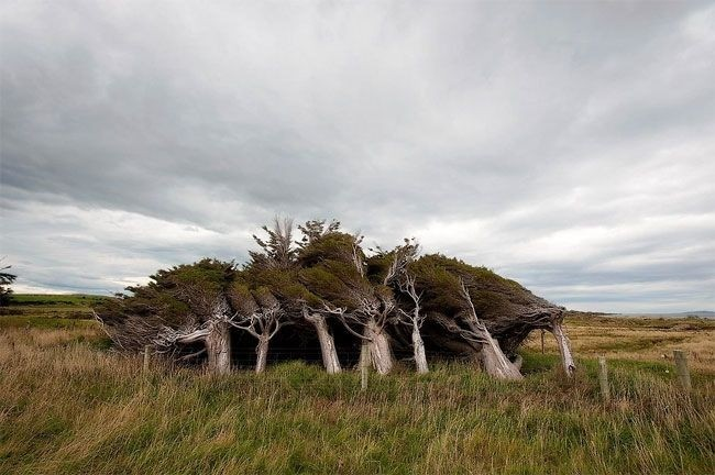 Гнутые деревья Новой Зеландии