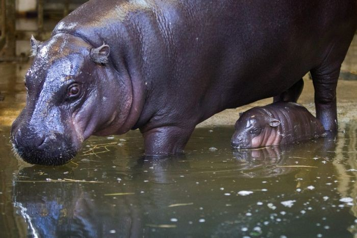 В зоопарке Бристоля на свет появился детеныш карликового бегемота (17 фото)