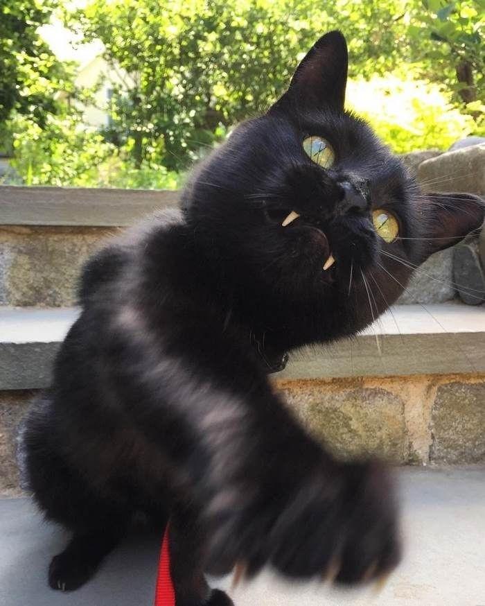 Кот-вампир с большими клыками