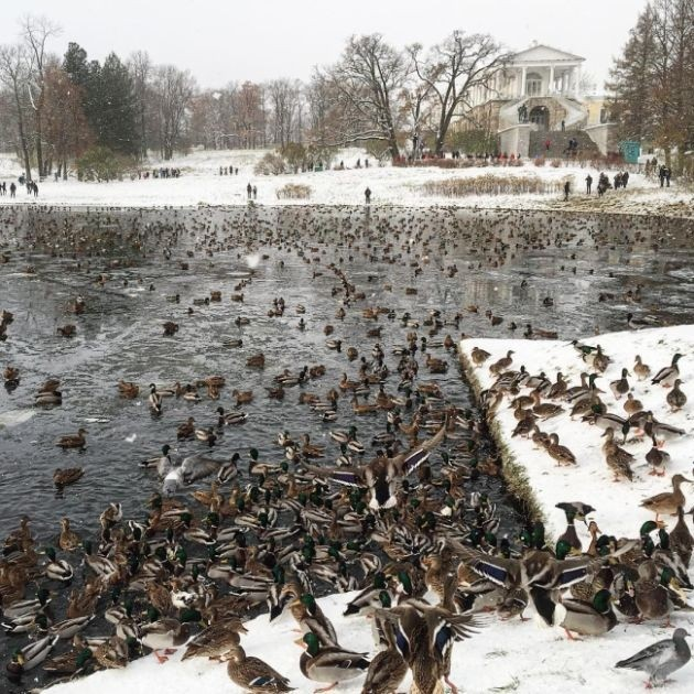 Нашествие уток в Пушкино