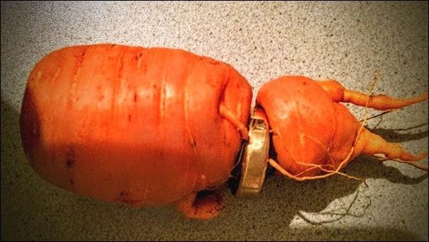 Морковь проросла через потерянное обручальное кольцо