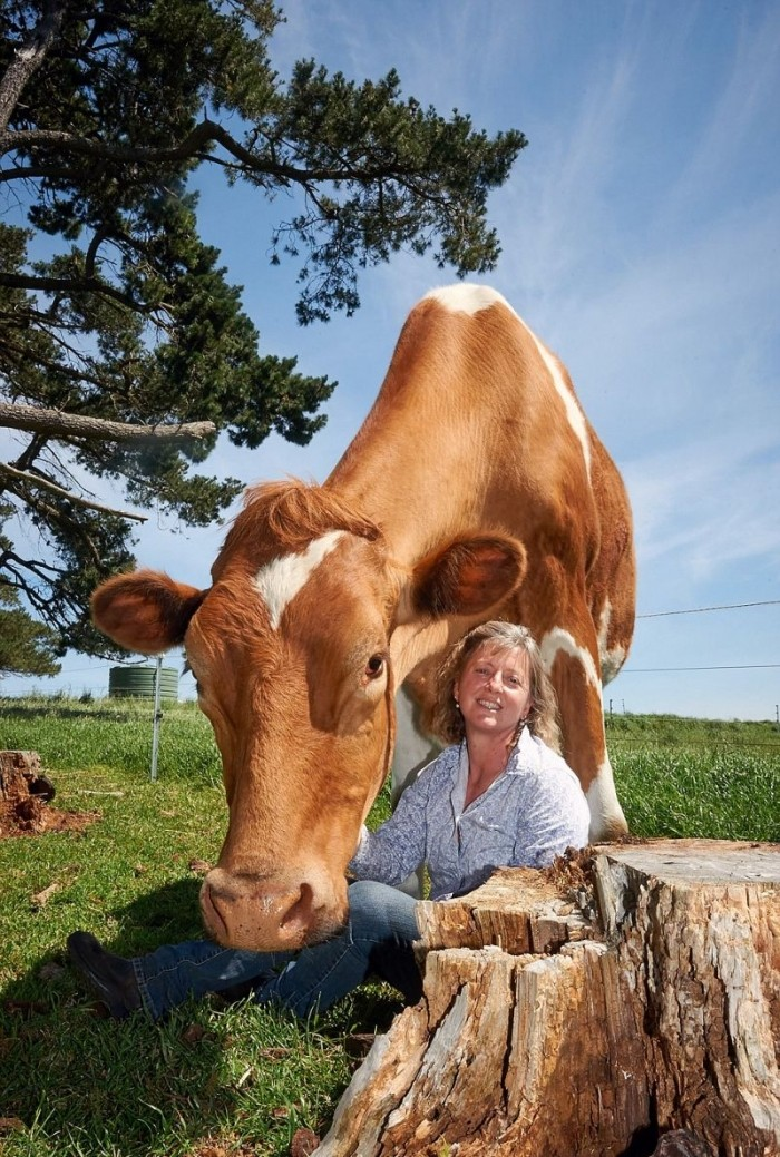 Самая большая корова в высоту почти достигает двух метров